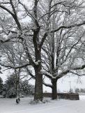 oak trees