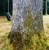 swing in the oaks